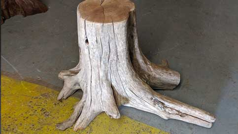 Cedar Tree Stump